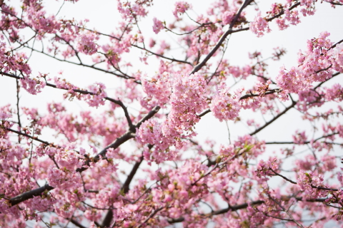 #1 河津桜.JPG