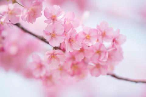 #41 河津桜.JPG